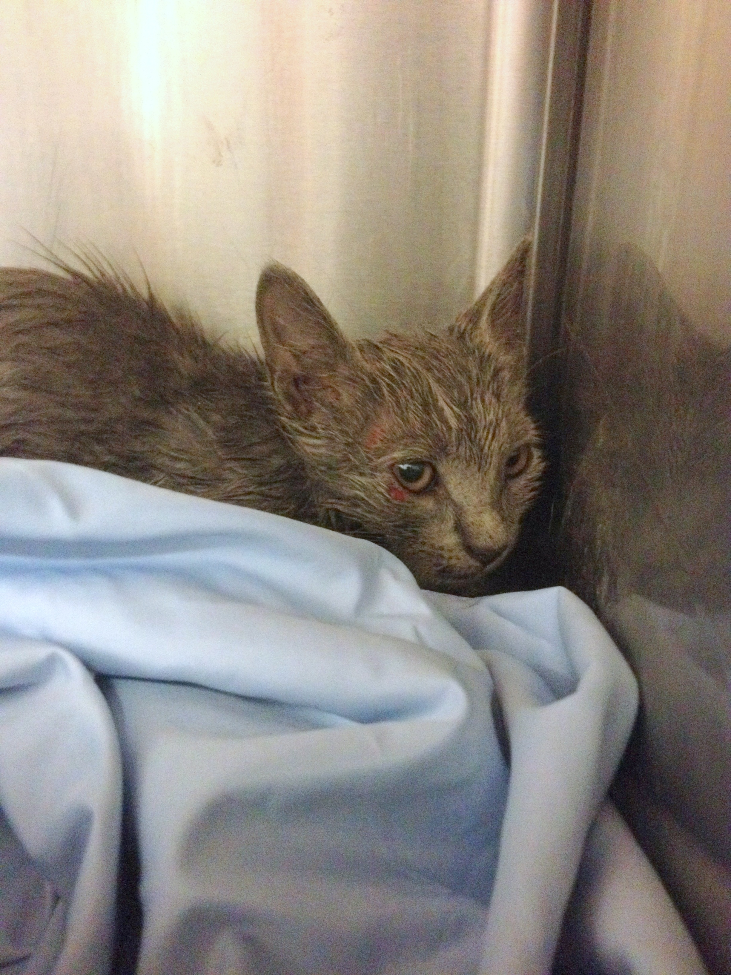 Kitten tossed from bridge cowers in corner of his kennel.
